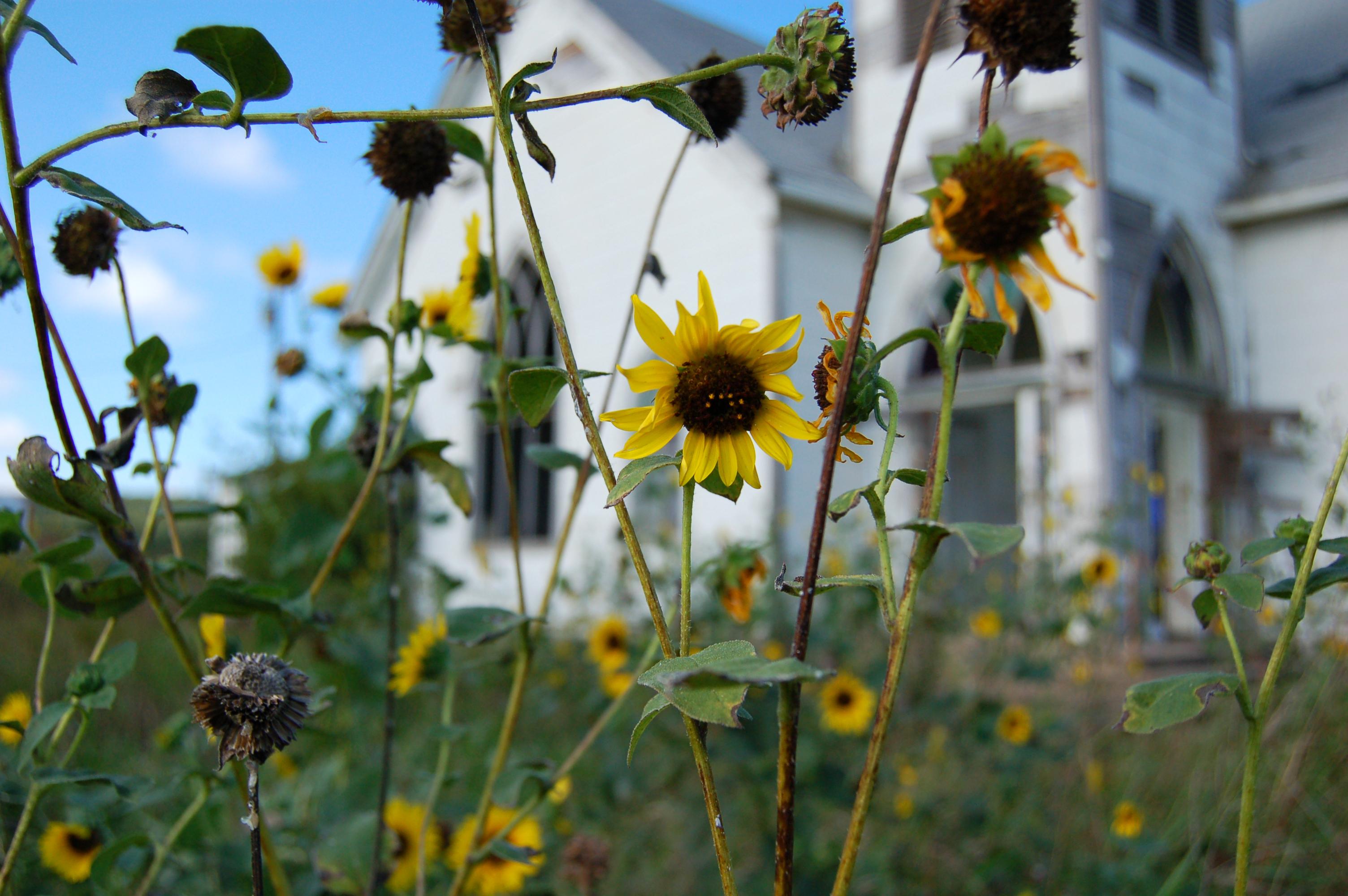 Jermyn Sunflower.jpg
